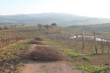 montalcino, le vigne non recintate del brunello (13)