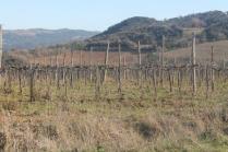 montalcino, le vigne non recintate del brunello (18)