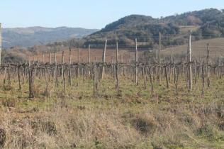 montalcino, le vigne non recintate del brunello (19)