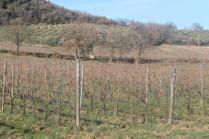 montalcino, le vigne non recintate del brunello (2)