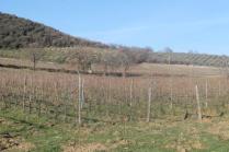 montalcino, le vigne non recintate del brunello (3)