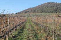 montalcino, le vigne non recintate del brunello (4)