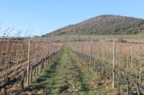 montalcino, le vigne non recintate del brunello (5)