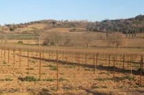 montalcino, le vigne non recintate del brunello (8)