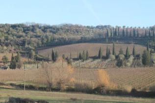 montalcino, le vigne non recintate del brunello (9)