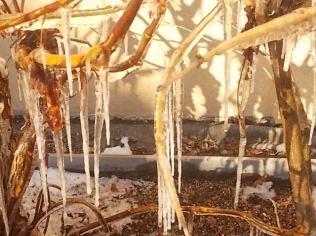 ortensia e stalattiti di ghiaccio (10)