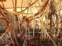 ortensia e stalattiti di ghiaccio (4)
