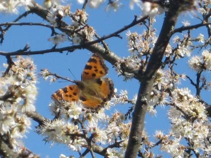 farfalla-sui-fiori-di-pruno-2