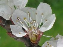 fiore-di-albicocca-7