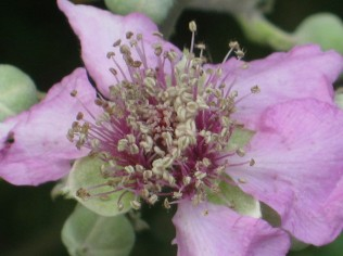fiore-di-mora-della-fonte-di-vertine-2