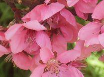 fiore-di-pesco-4