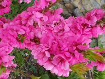 fiori-di-pesco-nano-4