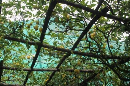 limoni di amalfi (10)
