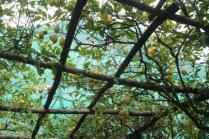 limoni di amalfi (11)
