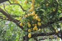 limoni di amalfi (12)