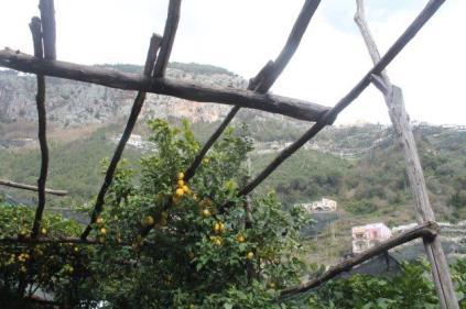 limoni di amalfi (13)