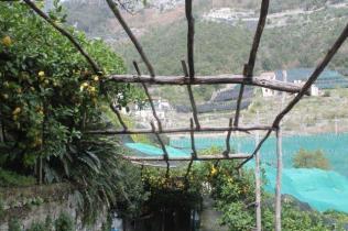 limoni di amalfi (14)