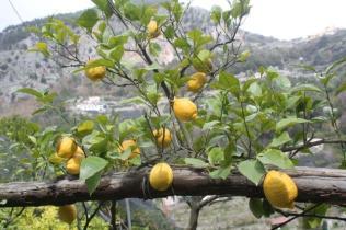 limoni di amalfi (18)