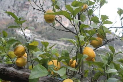 limoni di amalfi (19)