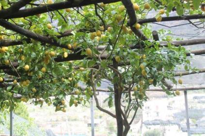 limoni di amalfi (22)