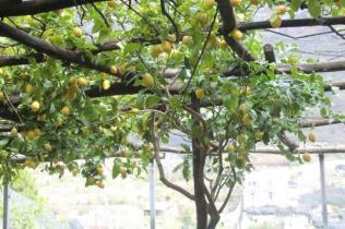 limoni di amalfi (23)