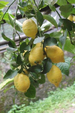 limoni di amalfi (24)