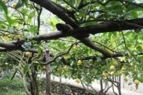 limoni di amalfi (25)