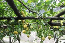 limoni di amalfi (26)