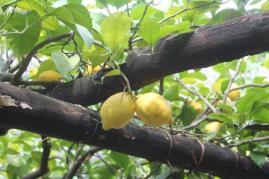 limoni di amalfi (27)