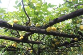 limoni di amalfi (28)