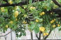 limoni di amalfi (30)