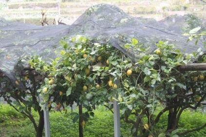 limoni di amalfi (31)