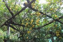 limoni di amalfi (32)