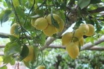 limoni di amalfi (33)