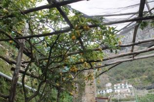 limoni di amalfi (34)