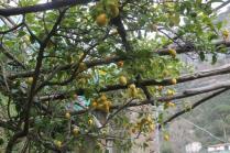 limoni di amalfi (35)