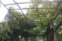 limoni di amalfi (7)