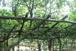 limoni di amalfi (8)