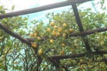 limoni di amalfi (9)