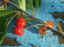ciliegie-marasche