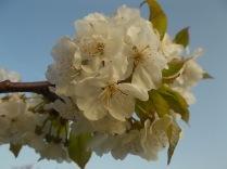 fiore-ciliegio-selvatico-11