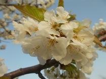 fiore-ciliegio-selvatico-2