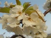 fiore-ciliegio-selvatico-4