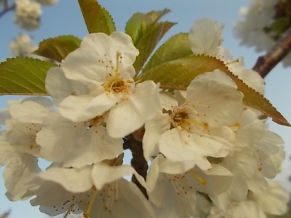 fiore-ciliegio-selvatico-5