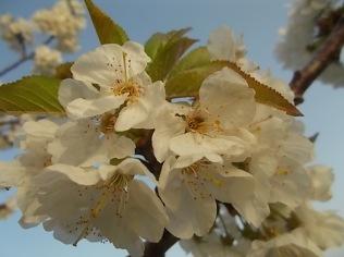 fiore-ciliegio-selvatico-6