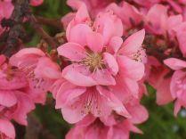 fiore di pesco 3
