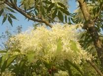 la fioritura dell'orniello (1)