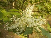 la fioritura dell'orniello (11)