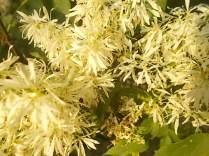 la fioritura dell'orniello (12)