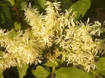la fioritura dell'orniello (13)